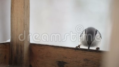 Trepatroncos en el canal de la alimentación del pájaro Bosque congelado almacen de video