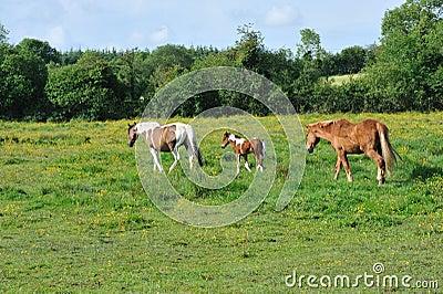 Tres caballos en el prado