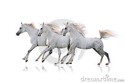 Tres caballos árabes blancos en blanco