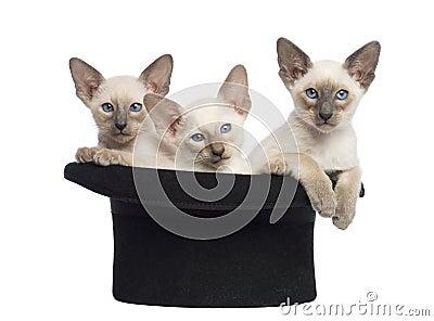 Tres gatitos orientales de Shorthair, 9 semanas de viejo