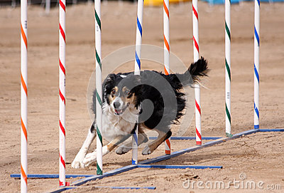 Tri-Color Border Collie weaving through poles