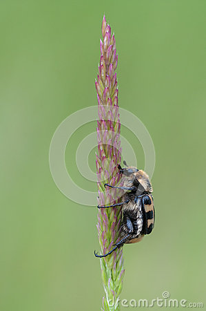 Trichius sp