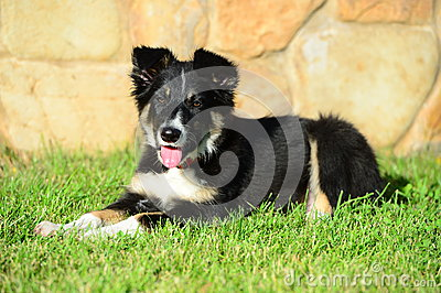 A tricolor border collie puppy dog laid down