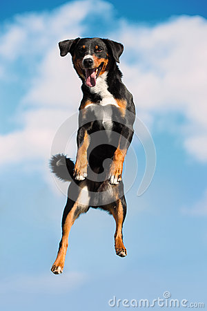 Free Tricolor Dog Jimps High In The Sky Stock Photography - 45639442