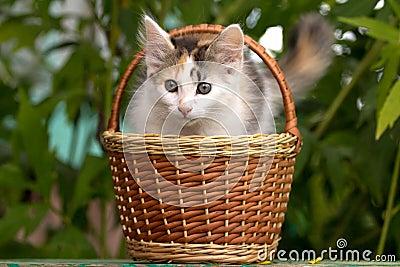 Tricolor kitten