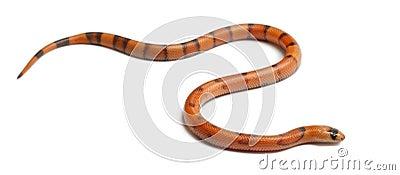 Tricolor Reverse Honduran milk snake