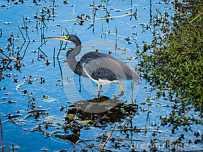 Tricolored Heron Royalty Free Stock Photo - Image: 29371535