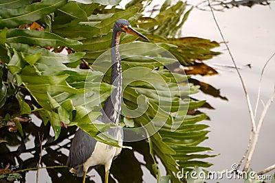 Tricolored Heron Free Public Domain Cc0 Image