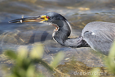 Tricolored Heron Catching a Fish