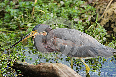 Tricolored Heron Stalking its Prey