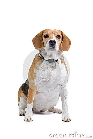 Tricolour Beagle dog