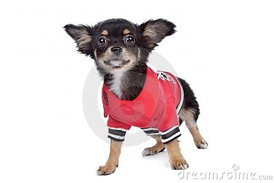 Tricolour smooth Chihuahua