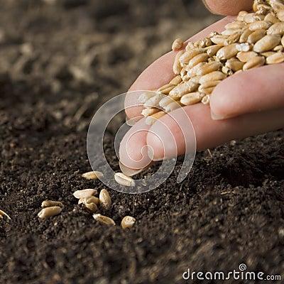 Trigo de la siembra