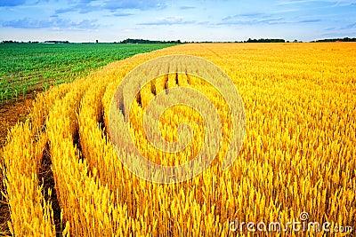 Trigo e milho