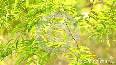 Trillend Groen het Gebladertebos van de Tamarindeboom stock video