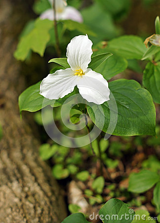 Trillium grows at the base of the tree