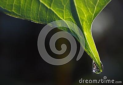 Trillium Leaf with Dewdrop