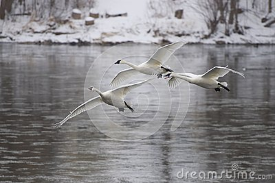 Trio of Arriving Swans