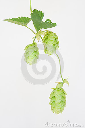 Trio of Cascade Hops on Isolated White Background
