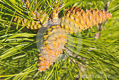 Trio of cones of European black pine