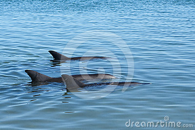 Trio Dolphins in blue