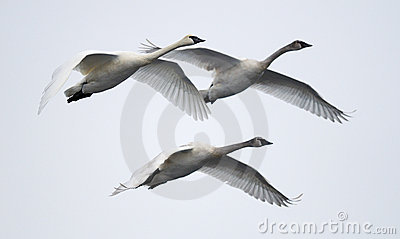 Trio of Flying Trumpeter Swans