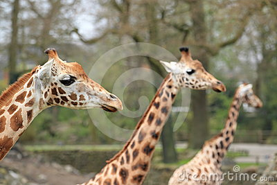 Trio of girafes
