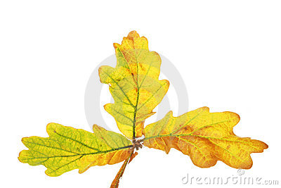 Trio of Oak leaves