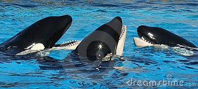 A Trio of Oceanarium Killer Whales Editorial Photo