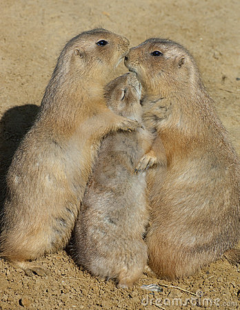Free Trio Of Prairie Dogs - Group Hug Stock Photography - 21532802