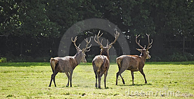 Trio of red deer stags prowling for females