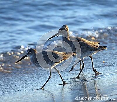 Trio of Shorebirds