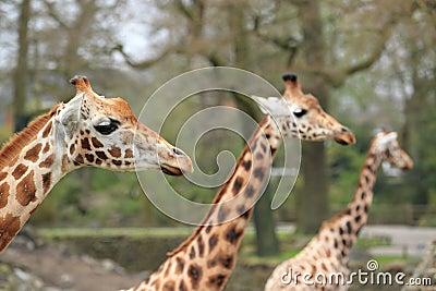 Trio van girafes