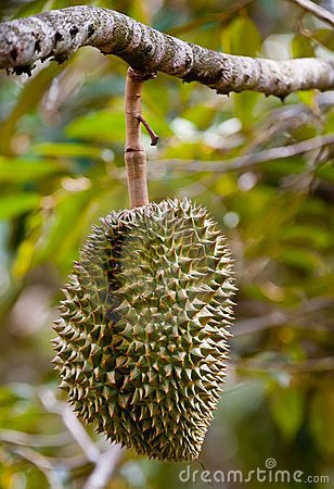 Tripical fruit durian