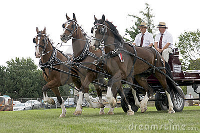 Triple Hitch Draft Horses at Agricultural Fair Editorial Image