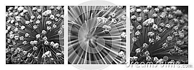 Triptych Allium Flower