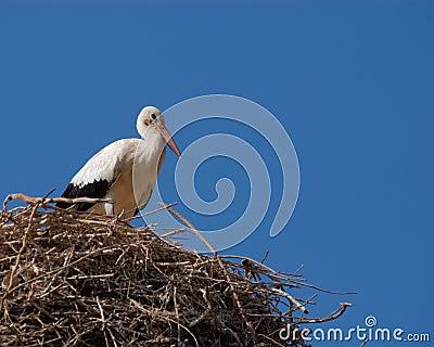 Türkischer Storch