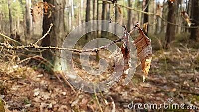 Trockene Eiche verlässt auf einem Baumast, der im Wind schwingt stock video