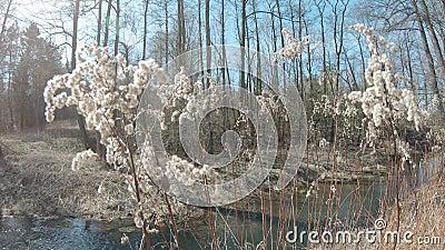 Trockene Pflanzen Goldenrod Canadian Solidago stock footage
