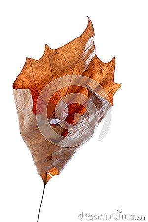 Trockenes Ahornblatt