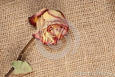 Trocknen Sie Rosafarbenes