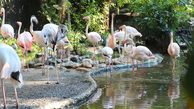 Troep van Flamingo stock video