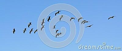 Troep van pelikanen blauwe hemel