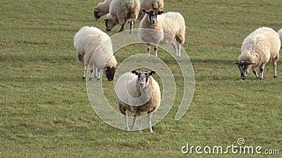 Troep van schapen die in een weide weiden stock video