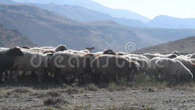 Troep van schapen stock videobeelden
