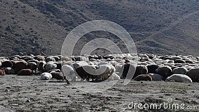 Troep van schapen stock footage