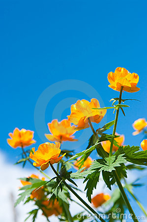 Trollius Against the sky