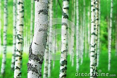 Tronc d 39 arbre de bouleau photo stock image 55579649 - Tronc bouleau ...
