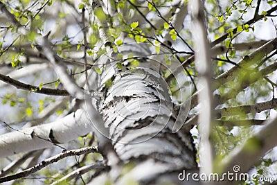 tronc d 39 un arbre de bouleau photo stock image 58555225. Black Bedroom Furniture Sets. Home Design Ideas