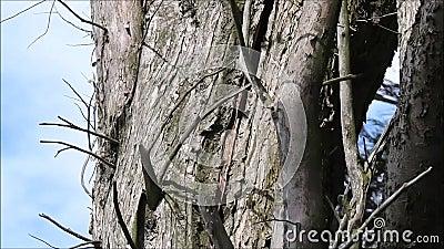Tronco rachado de rachamento da árvore perigosa em ventos de vendaval altos filme